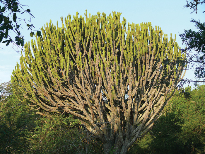 South african plants and trees - photo#26