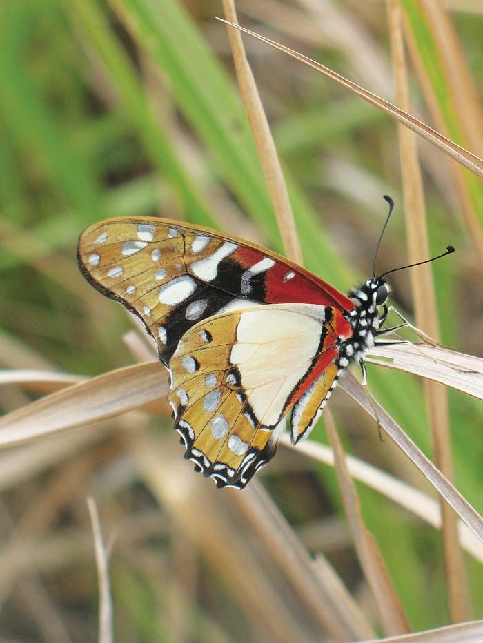 Butterfly-in-GL
