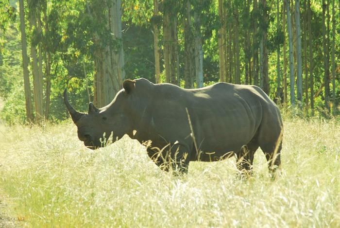 Fig-2-White-rhino